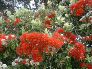 Pohutukawa in bloom