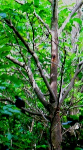 A tui, a common sight in our garden