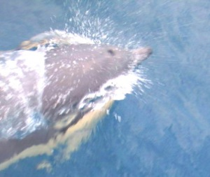 One of the dolphins that was riding our bough wave