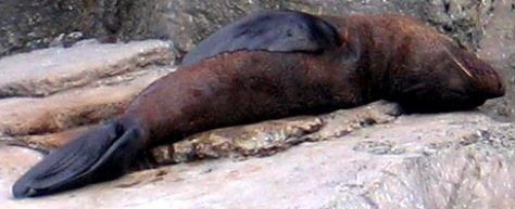 A New Zealand fur seal (not dead, resting)