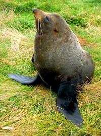 Fur Seal 1cropped
