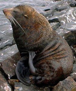 Fur Seal 3cropped