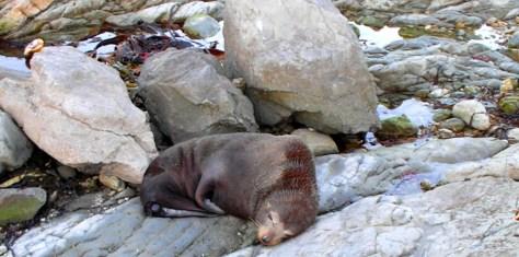 fur seal 4
