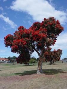 A blossoming pohutukawa tree in Kaikoura