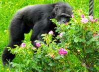 Chimpanzee Hamilton Zoo New Zealand