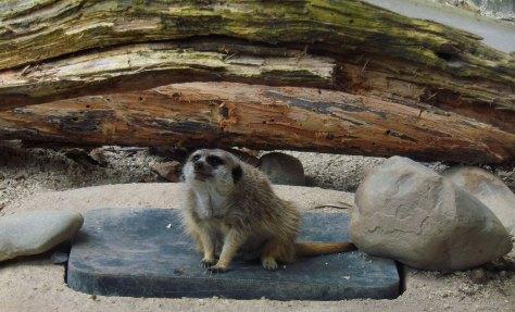 Meerkat Hamilton Zoo New Zealand