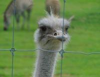Ostrich Hamilton Zoo New Zealand