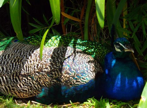 Sleeping Peacock Hamilton Zoo New Zealand