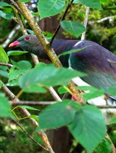 New Zealand Wood Pigeon Tupare