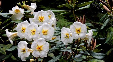 Pukeiti Flowers Taranaki