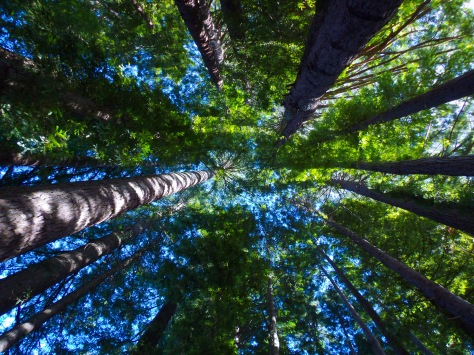 Redwoods at Hamurana Springs, Rotorua