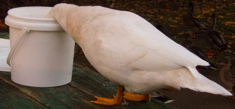 A Duck with Its Head in a Bucket