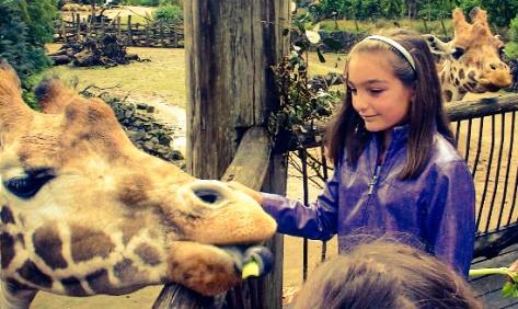Feeding Giraffe at Auckland Zoo