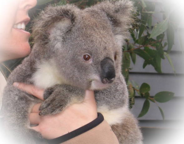 koala at dreamworld