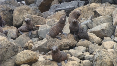 Fur Seals by Lucie Simpson