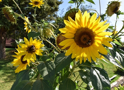 sunflowers solcape raglan