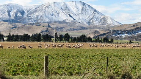 castle hill mountain snow sheep new zealand